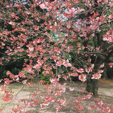 Spirende forår i Tokyo