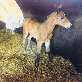 Filly By a son of QuickStar X Heartbreaker x Contender mother May 2018 4.jpg