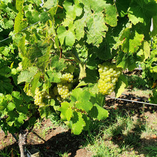 Riesling vines and grapes.