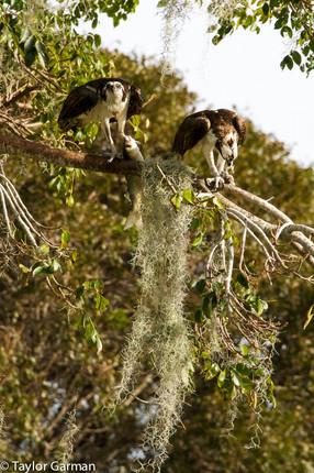 Osprey share a Meal