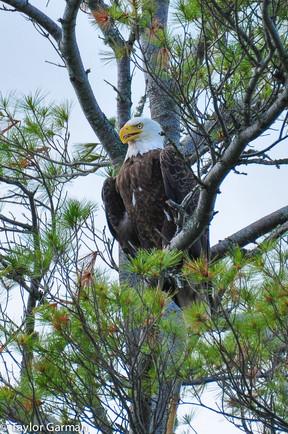 Bald Eagle- Watching