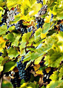 Vineyard Ripened Grapes- Adjusted.jpg