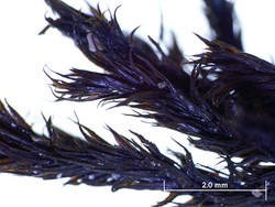 C-14 dating: fossil Racomitrium moss from Rannoch Moor