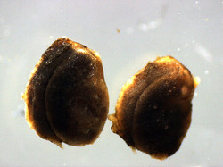 C-14 dating: fossil Potamogeton seeds from Rannoch Moor