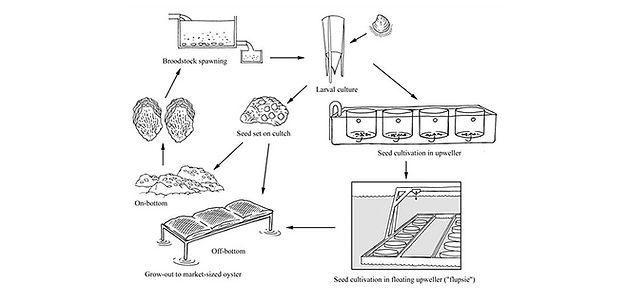 oyster_aquaculture_cycle.jpg