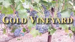 Gold Vineyard