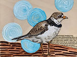 Endangered-Alberta_Piping-Plover_5x7_mix