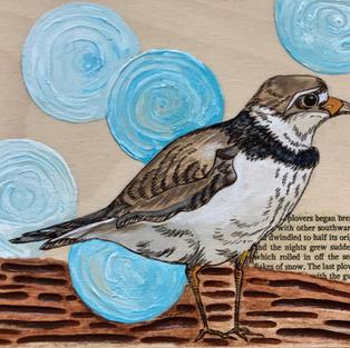 Endangered Alberta Piping Plover