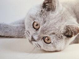 RUEIFON BRITISH BLUE SHORTHAIR CATS KITTENS NORTH YORKSHIRE
