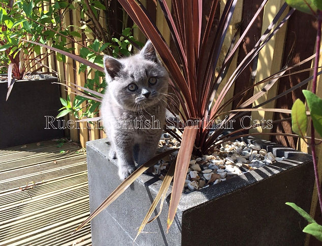 BLUE SHORTHAIR CATS KITTENS PET COURIER SERVICE'S NORTH YORKSHIRE