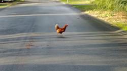 chicken rushing across street in Comox -