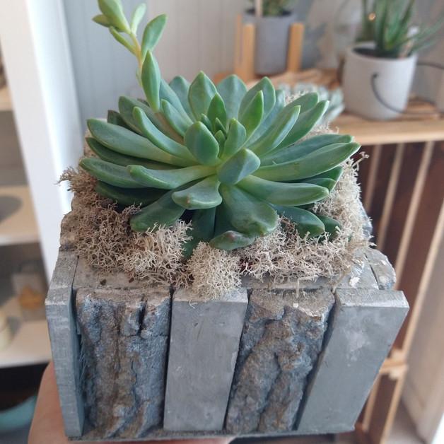 Plante grasse et cache- pot bois