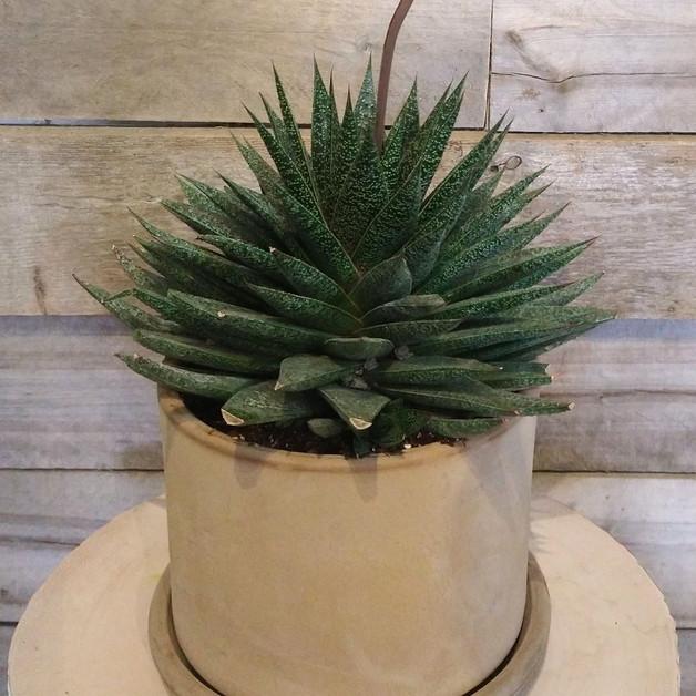 Succulente 8`` et pot