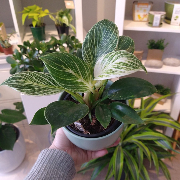Philodendron Burkin