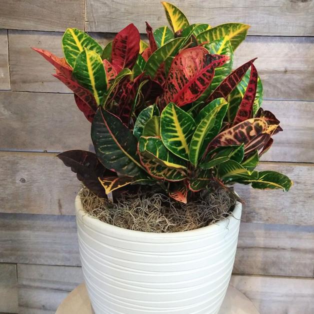 Croton et pot