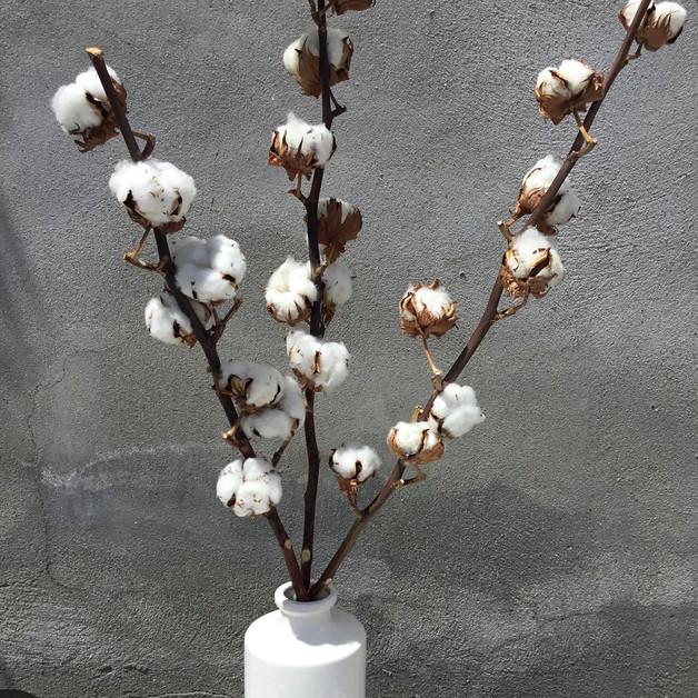 Fleurs de coton