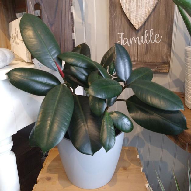 Ficus elastica et pot