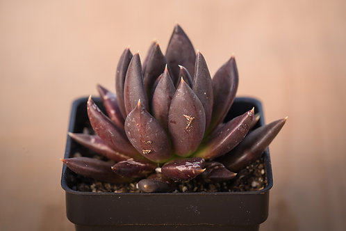 ECHEVERIA AFFINIS BLACK KNIGHT