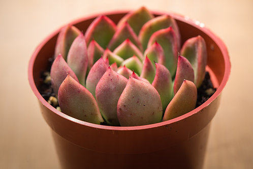 B-50 ECHEVERIA RED GILVA