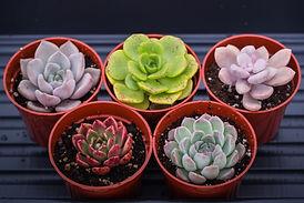 succulentes québec