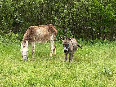 Donkeys 01.jpg