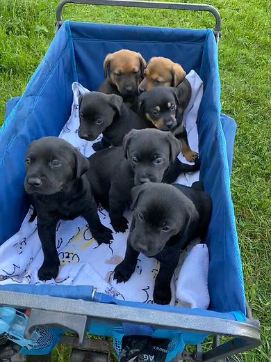 Puppies in a wagon.jpg