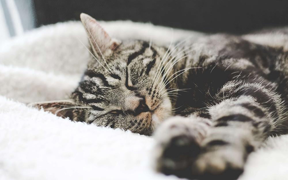 mèo vằn nằm ngủ trên đệm