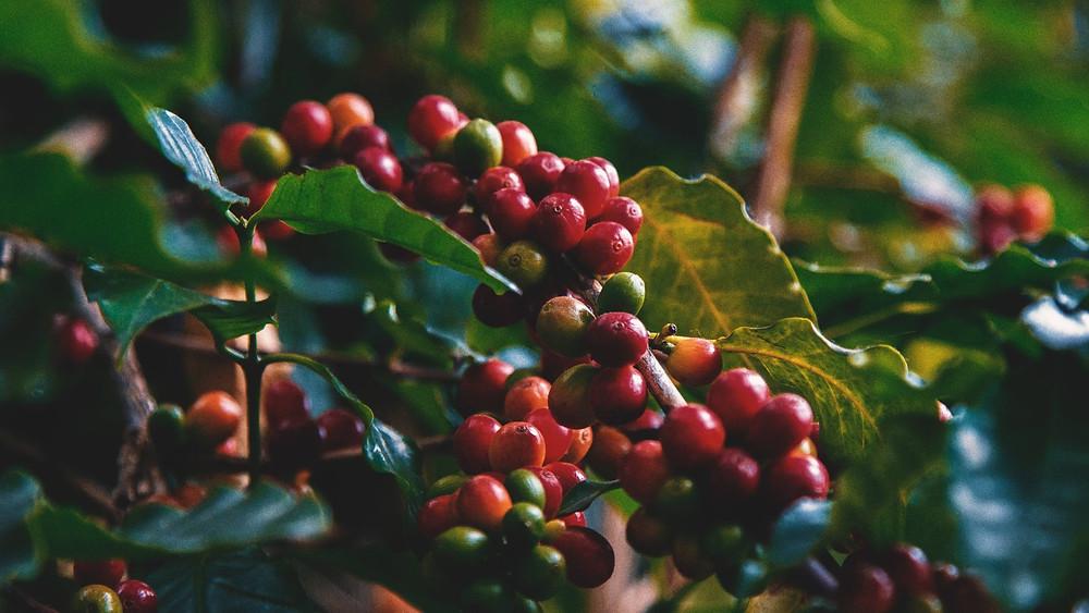 quả cafe trên cây chờ thu hoạch