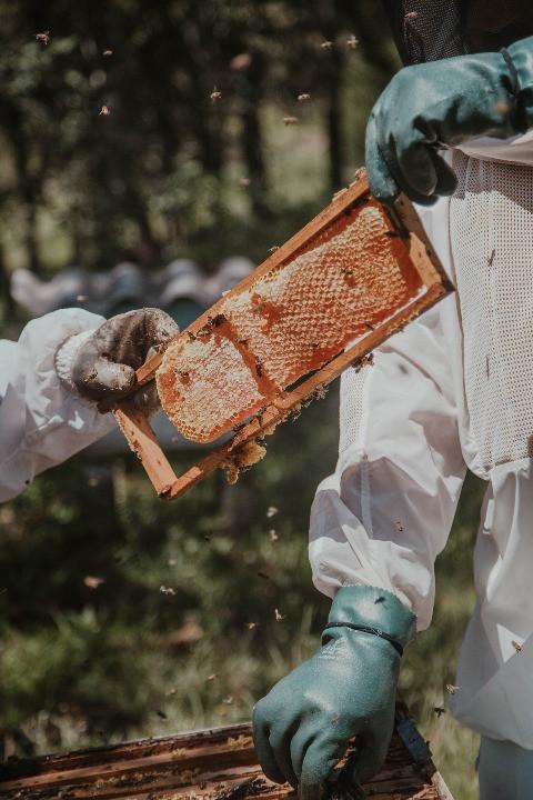 Lấy mật ong từ tổ ong