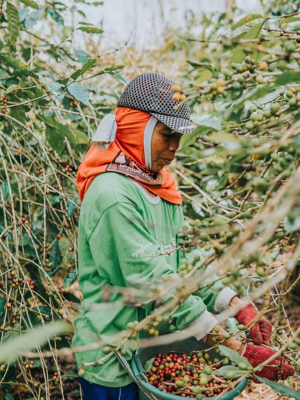 nông dân thu hoạch hạt cà phê từ cây
