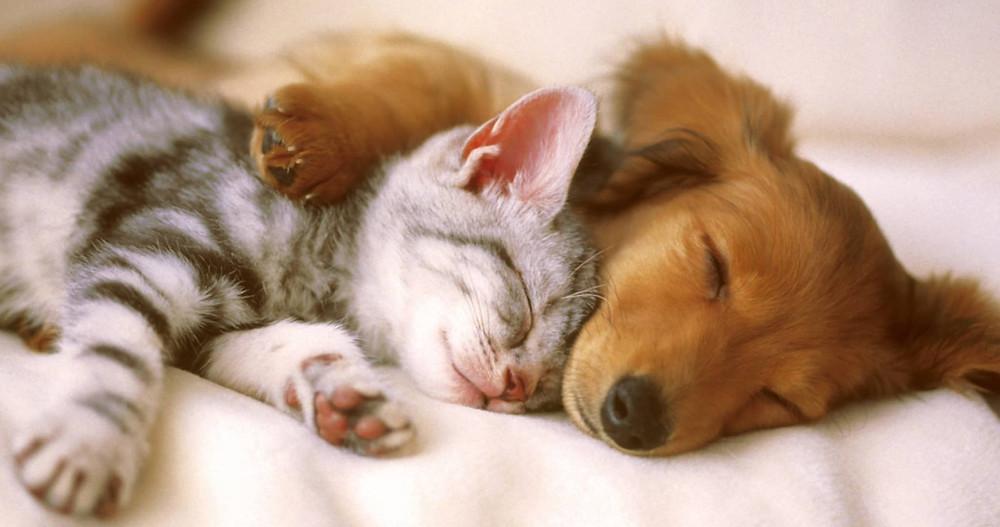 chó và mèo nằm ngủ chung