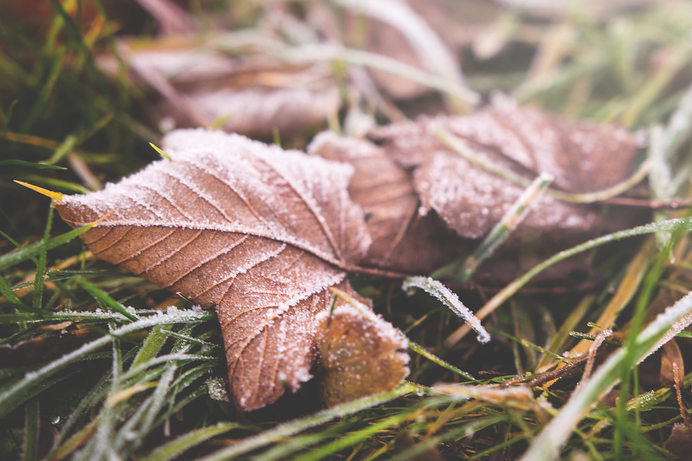 Autumn leaves covered in frost on a grassy field.