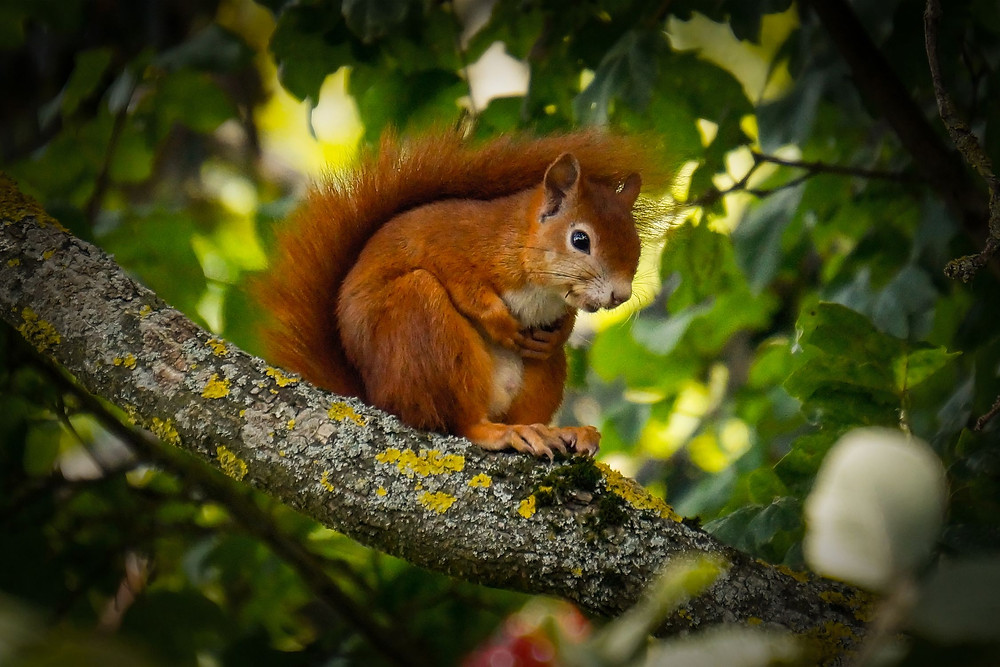 Squirrel sitting in a tree eating acorns.
