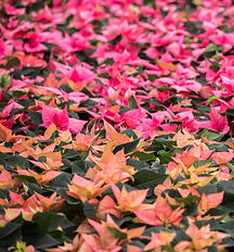 GME-green-marketing-europe-poinsettias-g