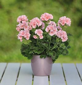 pelargonium-for-europe-marketing-geraniu