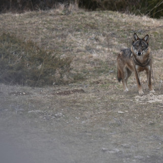 Wolf - Canis lupus italicus -Lupo appenninico
