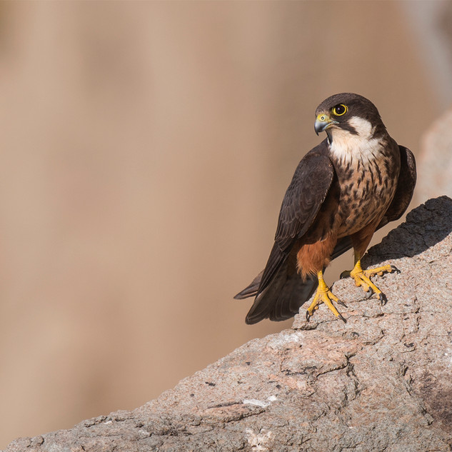 Falco elonorae - Eleonora's falcon - Falco della regina - September 2017 Sardegna