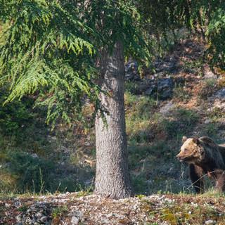 Bears and trees