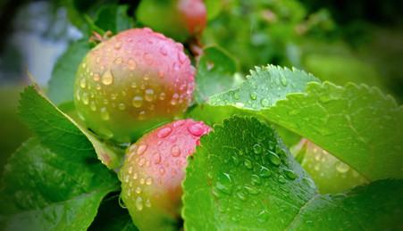 Apples in rain