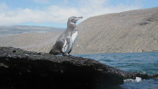 Censo de pingüinos y cormoranes no voladores de Galápagos registró cifra récord