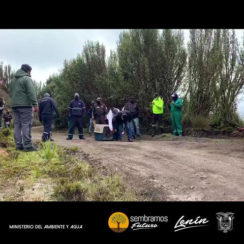 MAAE libera con éxito a loba de páramo incautada en Cochasquí