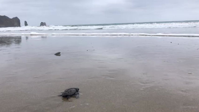 Más de cuatro mil tortugas han nacido en playas manabitas