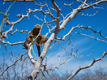 Las iguanas terrestres contribuyen a la restauración ecológica de las islas Santiago y Seymour Norte
