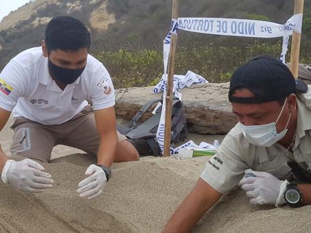 Guardaparques del Refugio Isla Corazón y Fragatas confirman anidamiento de tortuga Laúd