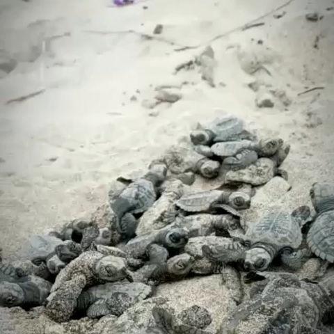 50 tortugas golfina nacieron en playa Las Palmas