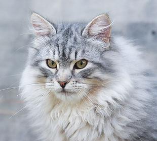 Chats sibériens reproducteurs de la chatterie de la Maison de l'Ours