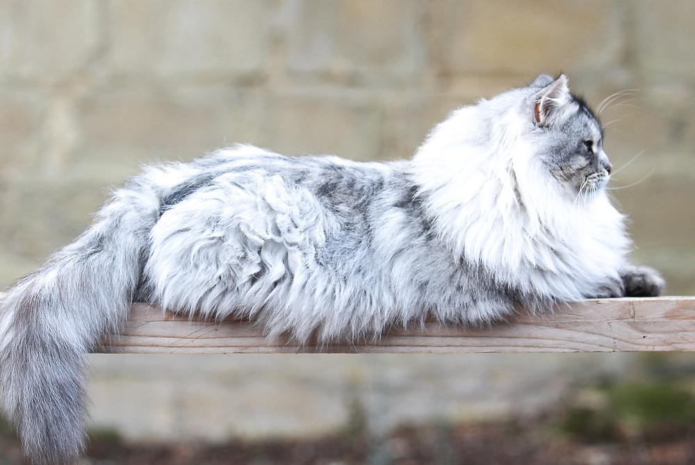Elevage de la Maison de l'Ours, chat sibérienBlack Silver Tabby, Languedoc Roussillon