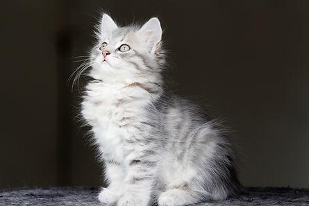silver chat chaton