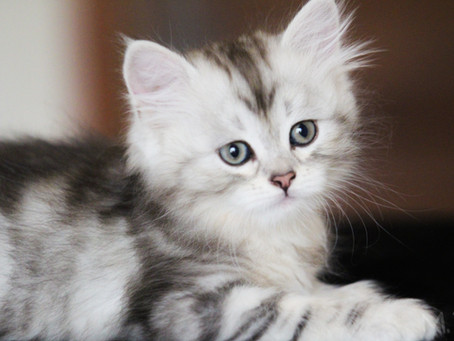 Chatons Black silver tabby