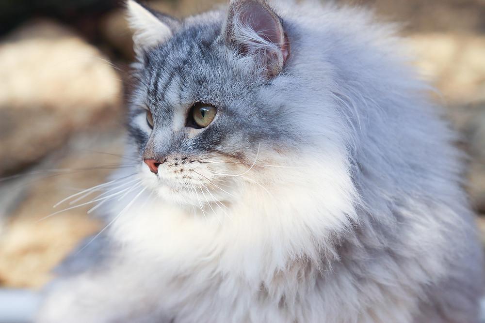 Elevage de la Maison de l'Ours, chat sibérien Black Silver Tabby, Languedoc Roussillon
